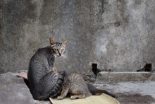 Scrappy Stray Mama Cat With Bl...
