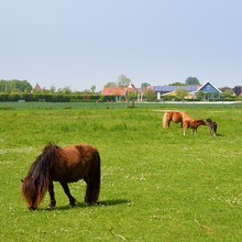 Cute Shetland Ponies Grazing O...