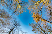 View Of Tree Tops With Blue Sky In The Taunus Forest Near Glashuetten At The Feldberg Area