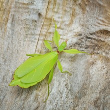 Green Leaflike Stick-insect Ph...
