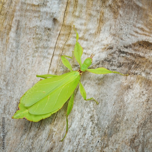 Green leaflike stick-insect Phyllium giganteum on a tree trunk in natural enviro Fototapet