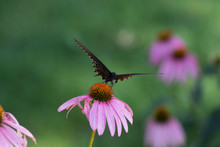 Eastern Black Swallowtail Butt...