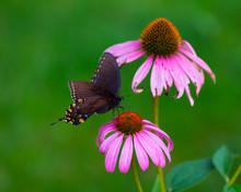 Eastern Black Swallowtail Butterfly (Papilio Polyxenes) On Coneflower