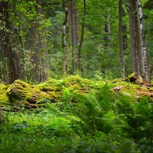 Mossy Log In A Green Summer Fo...