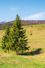 Mountainous Countryside In Springtime. Spruce Trees On The Grassy Hills. Spots Of Snow On The Distant Mountain Top. Sunny Weather With Blue Cloudless Sky. Carpathian Rural Landscape
