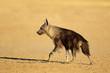 canvas print picture - An alert brown hyena (Hyaena brunnea), Kalahari desert, South Africa.