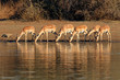 canvas print picture - Impala antelopes (Aepyceros melampus) drinking water, Kruger National Park, South Africa.