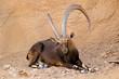 Large male Nubian ibex (Capra nubiana) resting, Arabian Peninsula.