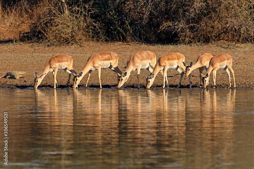 Obraz na plátne Impala antelopes (Aepyceros melampus) drinking water, Kruger National Park, South Africa