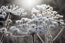 A Frozen Flower Covered With Hoarfrost. Winter Landscape.