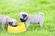 canvas print picture - Cute puppies brown Pug scramble to eat goat milk in dog bowl