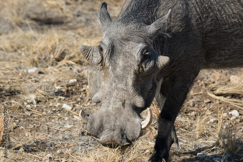 Closeup portrait of common gray warthog with big broken tusks standing in the grass in African savanna Canvas Print