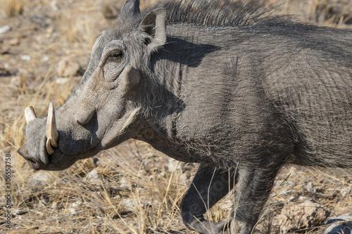Fotografía Closeup portrait of common gray warthog with big broken tusks standing in the grass in African savanna