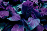 Fototapeta Kwiaty - leaves of Spathiphyllum cannifolium, abstract colorful texture, nature background, tropical leaf