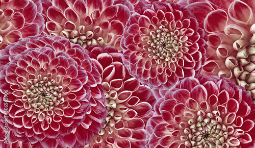 Foto auf Leinwand Kastanienbraun Floral red-pink background. Flowers dahlias close-up. Flowers composition. Nature.
