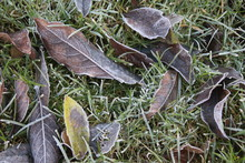 Close Up Autumn Leaves On Blades Of Green Grass Lawn On A Frosty Winter Morning With Beech Leaf Coloured Brown Orange Yellow In Rural Garden Early Morning In Frost Melted Landscape Outdoors Fresh Air