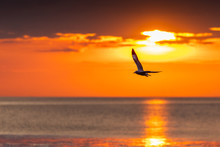 Silhouetted Seagull Flying Fre...