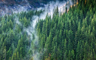 Fototapeta Do jadalni Aerial of pine forest with flowing fog.