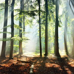 Panel Szklany Drzewa Sun rays in a fog in a misty morning green forest. Osnabruck, germany