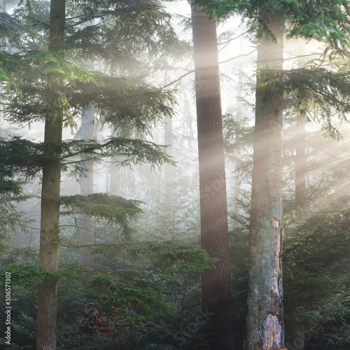 Fototapeta Misty pine forest with visible rays of sun through the fog. French Alsace obraz na płótnie