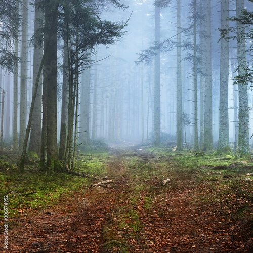 Foto op Canvas Bos A path in a dark pine forest in mist. French Alsace, Vosges mountains