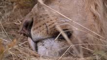 African Lions Closeup Breathin...