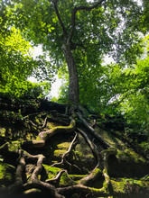 Tree With Long Roots On Rock