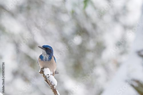 Valokuva California Scrub jay in the snow