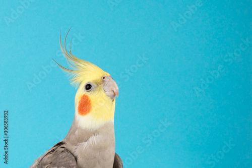 Fototapeta Cockatiel, Adorable parrot isolated on blue background, best parrot pictures