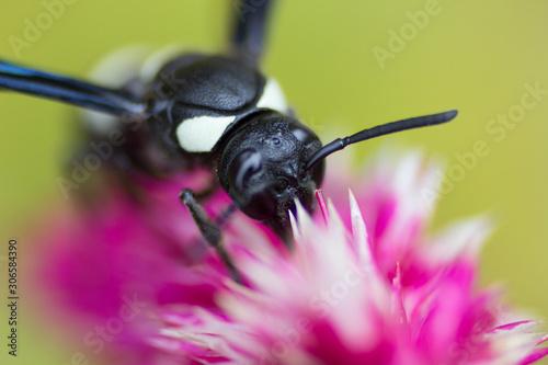 Mason Wasp on Cilosia