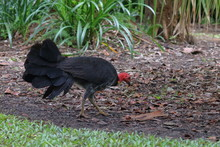 Australian Bush Turkey