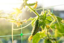 Cucumber Growing In The Garden...