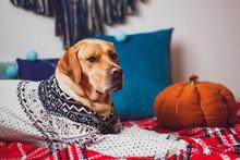 Labrador Dog In A Christmas Sw...
