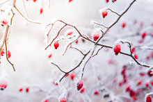 Rose Hip Red Berries Covered In Snow