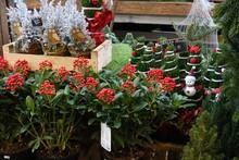 Plantes De Noel Chez Un Fleuri...