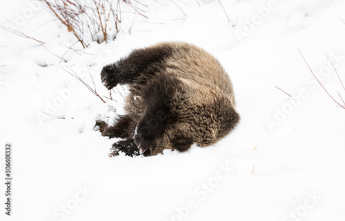 Fotomural  Grizzly bear cubs in the wild