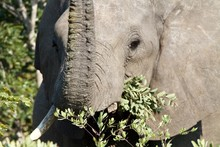 Portrait Of An Elephant Eating Tree Leaves