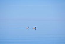 Canada Goose Couple Swimming I...