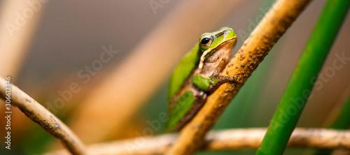 Fototapeta Close up of a Wallum sedge frog also known as a Olongburra frog.
