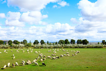 Sheep Flock  Is On The Grassland