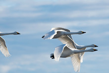 Whistling Swans Flying In Lake...