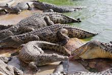 Feeding Crocodiles On A Crocod...