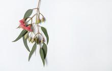 Australian Native Eucalyptus L...