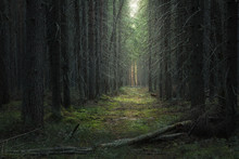 Path In The Moody Dark Coniferous Forest