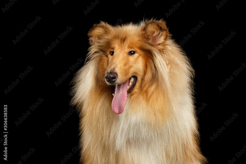 Fototapeta Portrait of Happy Collie Dog on Isolated Black Background