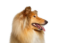 Closeup Portrait Of Collie Dog In Profile On Isolated White Background
