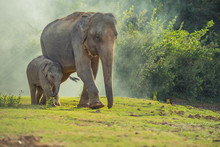 Asian Elephant Family Walking ...