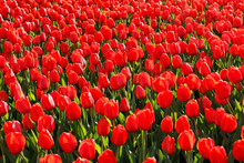 Many Beautiful Red Tulips Close-up