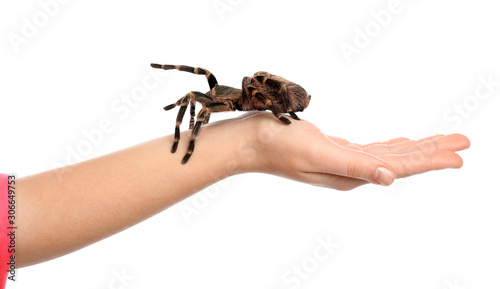 Woman holding striped knee tarantula on white background, closeup Canvas Print
