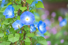 Morning Glory In Bloom Or Blue...